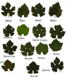 Types of Wine Leaves