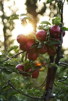 During the 19th Century over 7,000 different kinds of apples were grown in the U.S. – Today less than 100 are grown commercially.