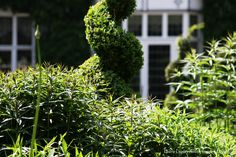 Clipped form creating a sculptural essence teamed with soft perennial planting