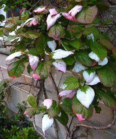 Variegated Kiwi Vine (Actinidia kolomikta) care and propagation information. Garden Plants, House Plants, Kiwi Vine, Planting Flowers, Flower Gardening, Garden Inspiration, Garden Ideas, White Gardens, All Flowers