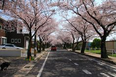 Aichi Prefecture :Row of cherry trees  April 11,2011