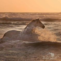 Horse swimming in the surf at sunset.