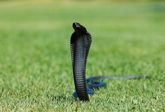 Cobra and King Cobra Snake Wallpapers 01