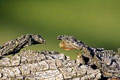 Split-Rail Fence Lizards Facing Off Color Photograph