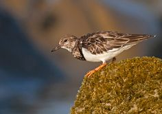 Arenaria Interpres - Ruddy Turnstone   Birds in Palm Coast, Flagler Beach, Florida http://www.palmcoastandtheflaglerbeaches.com/