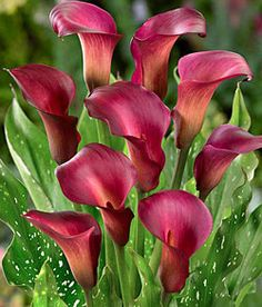 Exceptionally versatile, Ruby Sensation Calla Lilies command attention in the garden, are ideal in containers, and amazingly long-lived in arrangements indoors. Description from bloomingbulb.com. I searched for this on bing.com/images