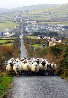 Brings back a wonderful memory -- Irish traffic jam in County Kerry