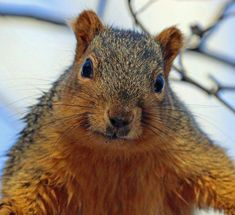 Mike Lunsford: Our squirrels have gone a little nuts this winter | News Columns | tribstar.com