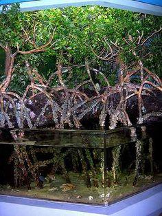 Mangrove aquarium