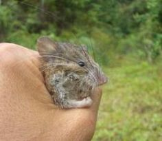 world/Asia/Asia_july_10/Margaretamys_christinae. New mammal species discovered in Indonesia