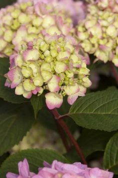 Use the big, beautiful blooms of your hydrangeas to capture attention at a specific place in your home or garden. Endless Summer Hydrangea, Hydrangea Not Blooming, Hydrangea Shrub, Hydrangeas, Bloomstruck Hydrangea, Easy To Grow Houseplants, Twist And Shout, Perfect Plants, Live Plants