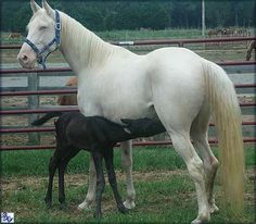 Blue Haven Farms Tennessee Walking Horse For Sale - Cremello Deville