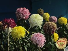 Winter Flower Show 2017 organized by The Agri Horticultural Society of India was inaugurated by Shri Keshari Nath Tripathy, Hon'ble Governor of West Bengal.