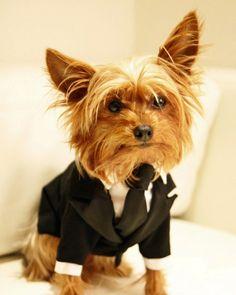 Bildergebnis für hund mit anzug
