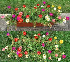 Portulaca Moss Rose   Portulaca