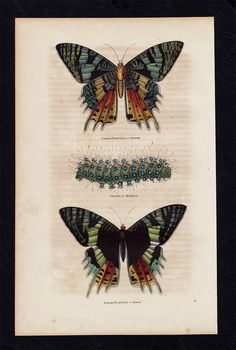 1850 Antique BUTTERFLY print hand colored by TwoCatsAntiquePrints