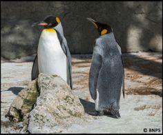 King Penguins at Cotswold Birdland Park and Gardens