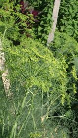 TSG: Be A Hostess To The Swallowtail: Plant More Dill !