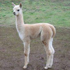 Beige Cria...aka baby llama!
