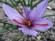 Saffron Seeds, Growing Saffron, Saffron Crocus, Unique Gardens, Growing Flowers, Calendula, Fall Harvest, Herb Garden, Paisajes