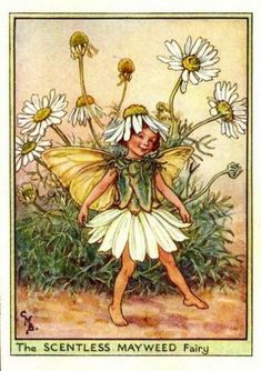 The scentless mayweed fairy - Fata della camomilla; Cicely Mary Barker