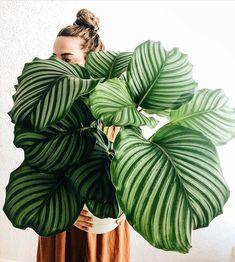 Which Calathea is your favourite? We definitely have a soft spot for the incredible Calathea Orbifolia! Best Indoor Plants, Indoor Garden, Garden Plants, Big Plants, Big Garden, Calathea Orbifolia, Peperomia Plant, Plantas Indoor, Decoration Plante