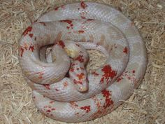 I know you really can't breed for paradox so much, but I'd love for one of these to pop up for me! Ruby Freckled Cornsnake.