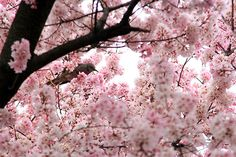 ALL Breathtaking Photography Landscape Photography, Art Photography, Cherry Blossom Tree, Blossom Trees, Everything Pink, Large Photos, In The Tree, Love Images, Deco