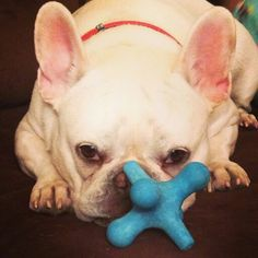 Tubby and his toys, toys,toys.... Spoiled French Bulldog