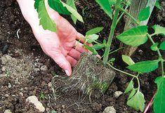 Sazenice rajčat se umisťují šikmo do země