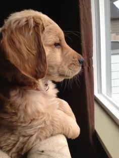 golden retriever waiting at the window