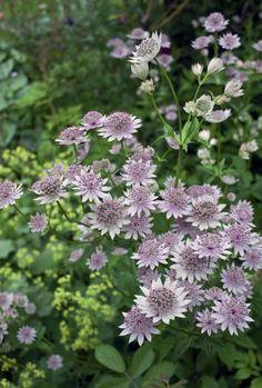 Jättipoimulehti ja isotähtiputki ovat lyömätön yhdistelmä. Garden Plants, Outdoor Gardens, Wild Flowers, Perenials, Annual Plants, Shade Garden, Perennials, Plants, Pansies