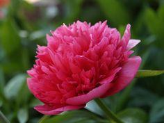 Peonia #rimedinaturali Rose, Flowers, Plants, Pink, Roses, Florals, Plant, Flower, Bloemen