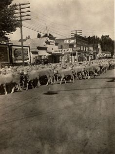 Sheep herded through Gardnerville [NV] main street on way to mountains.   The first domestic sheep in Nevada traveled with wagon trains on their way to California, as early as 1841. During the gold rush, thousands of sheep were driven from New Mexico to California, across Nevada, to feed the miners.