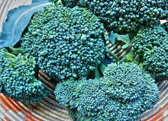 Broccoli Seeds and Plants - Broccoli is one of the most nutritious garden vegetables you can grow. Grow fresh broccoli in spring and fall. Find organic broccoli seeds available at Burpee. Growing Broccoli, Fresh Broccoli, Growing Vegetables, Broccoli Plant, Broccoli Sprouts, Organic Seeds, Grow Organic, Gardens, Earth