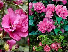 Ketmia syryjska (hibiskus)