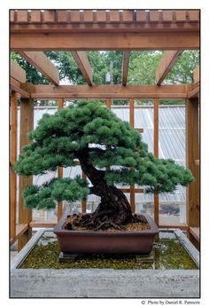 100 YEAR OLD BONSAI TREE........SOURCE TUMBLR.COM........... Bonsai Trees For Sale, Shrubs, Bonsai Art, Plants, Gardening, Gallery, Bonsai Trees, Tatoo, Home