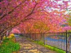 I want one of these trees in my back yard. I would be happy all the time:-) Sakura cherry trees