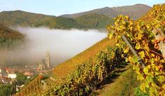 Vineyard owned by Zind Humbrecht, Alsace. Zind is one of the worlds greatest white wine producers.