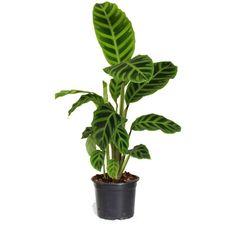www.kings.co.nz plants indoors foliage calathea-peacock-140mm