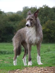 greyhound X bearded collie