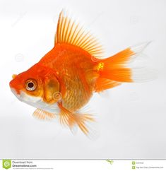 Gold fish stock photo. Image of water, swim, colors, beautiful - 2447942 #GoldInvestment
