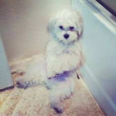 """Click visit site and Check out Cool HAVANESE Shirts. This website is excellent. Tip: You can search """"your first name"""" or """"your favorite shirts"""" at search bar on the top. Havanese Puppies, Maltese Dogs, Cute Puppies, Dogs And Puppies, Fluffy Puppies, Maltipoo, Pet Dogs, Dog Cat, Doggies"""