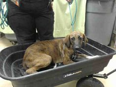 07/17/15-HOUSTON-This DOG - ID#A438301  I am a female, brown brindle and white Whippet mix.  My age is unknown.  I have been at the shelter since Jul 16, 2015.  This information was refreshed 58 minutes ago and may not represent all of the animals at the Harris County Public Health and Environmental Services