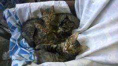skiartski cats