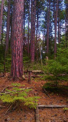 Virginia Minnesota - The woods!