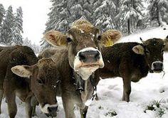 Swiss cows!