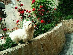 Puff. Owner: Hunya Shahzad (Facebook) Labrador Retriever, June, Facebook, Pets, Labrador Retrievers, Labrador, Labrador Retriever Dog, Animals And Pets