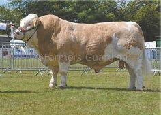 Simmental. Large breed. Big Boned. Good milk production. High weaning weight. Brown/ Black & White.