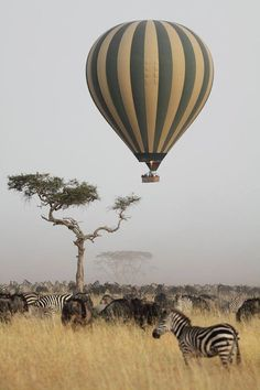Zebras from the hot air balloon, Serengeti National Park, Tanzania